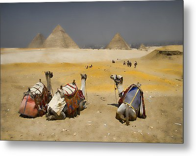 Scenic View Of The Giza Pyramids With Sitting Camels Metal Print