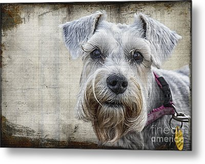 Schnauzer Fellow Metal Print