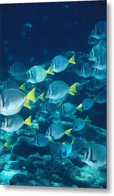 School Of Surgeonfish Cruising Reef Metal Print by James Forte