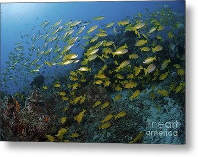 School Of Yellow Snapper, Great Barrier Metal Print by Mathieu Meur