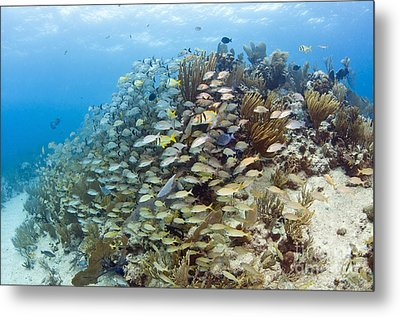 Schools Of Grunts, Snappers, Tangs Metal Print by Karen Doody
