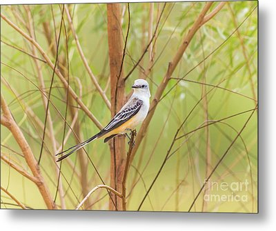 Metal Print featuring the photograph Scissortail In Scrub by Robert Frederick