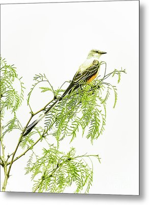 Metal Print featuring the photograph Scissortail On Mesquite by Robert Frederick