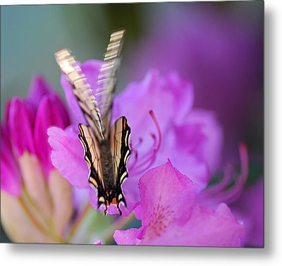 Metal Print featuring the photograph Scissorwings by Susan Capuano