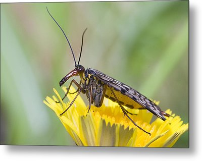 Scorpionfly Metal Print by Andre Goncalves