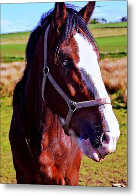 Scottish Clydesdale  Metal Print by Roger Wedegis