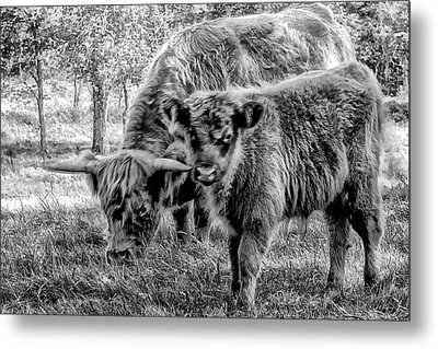 Scottish Highland Cattle Black And White Metal Print by Constantine Gregory
