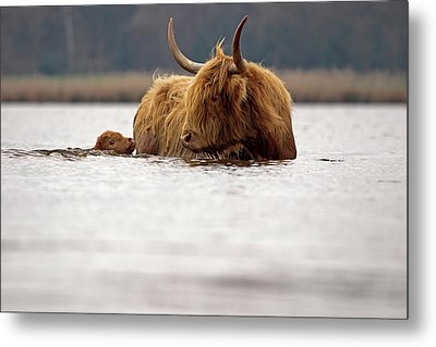 Scottish Highlander With Young To Swim Metal Print by Ronald Jansen
