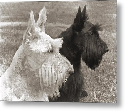 Scottish Terrier Dogs In Sepia Metal Print by Jennie Marie Schell