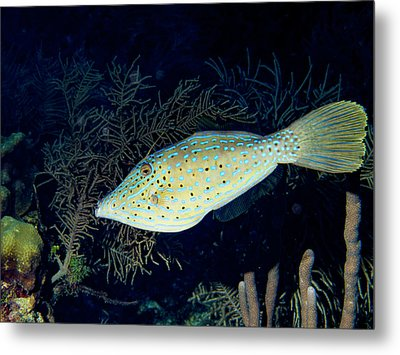 Metal Print featuring the photograph Scrawled Filefish by Jean Noren