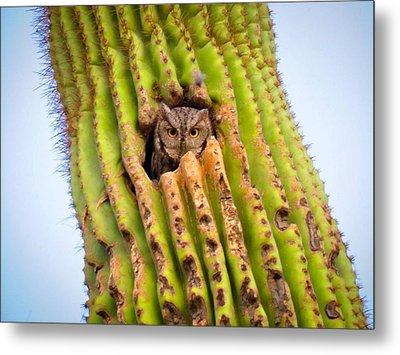 Screech Owl In Saguaro Metal Print