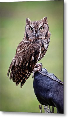 Screech Owl Perched Metal Print by Athena Mckinzie
