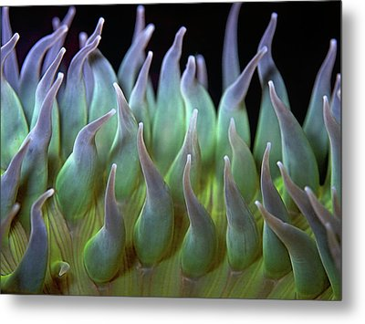 Sea Anemone Metal Print by by Frank Chen