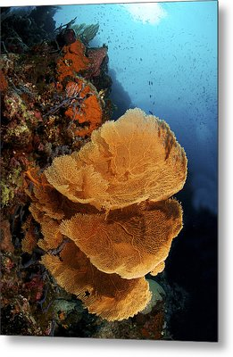 Sea Fan Coral - Indonesia Metal Print by Steve Rosenberg - Printscapes