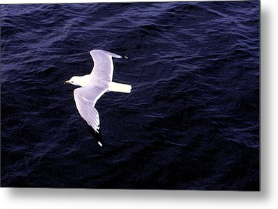 Metal Print featuring the photograph Sea Gull Over Water Dbwc by Lyle Crump