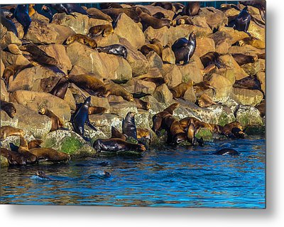 Sea Lion Coloney Metal Print by Garry Gay