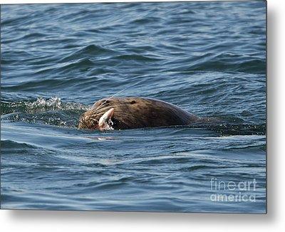 Sea Lion Meal Metal Print by Mike Dawson