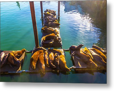 Sea Lions Sunning On Dock Metal Print by Garry Gay