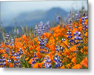 Sea Of California Wildflowers Metal Print by Kyle Hanson