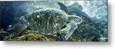 Sea Of Cortez Green Turtle Metal Print