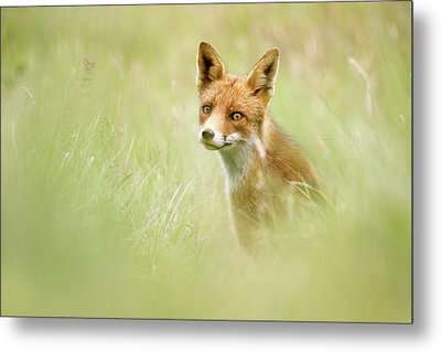 Sea Of Green - Red Fox In The Grass Metal Print by Roeselien Raimond