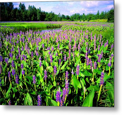 Sea Of Pickerelweed Metal Print