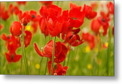 Sea Of Red Buttercups Metal Print by Uri Baruch