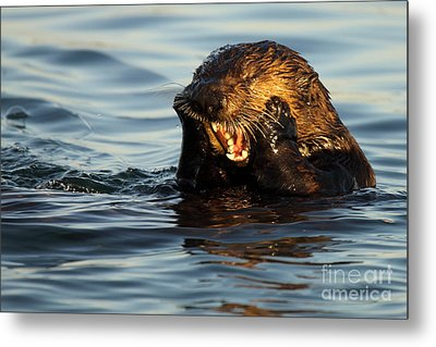 Sea Otter With A Toothache Metal Print by Max Allen