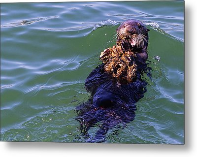 Sea Otter With Lunch Metal Print