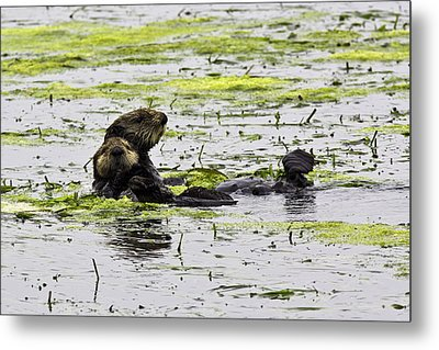 Sea Otters 1 Metal Print