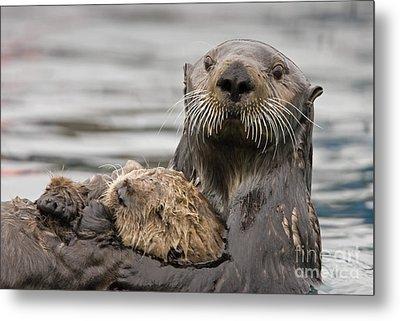 Sea Otters Metal Print by Tim Grams