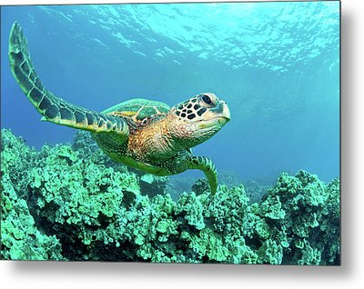 Sea Turtle In Coral, Hawaii Metal Print