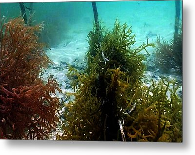 Sea Weed Farming Plantation And Harvesting In The Island Of Zanzibar Metal Print