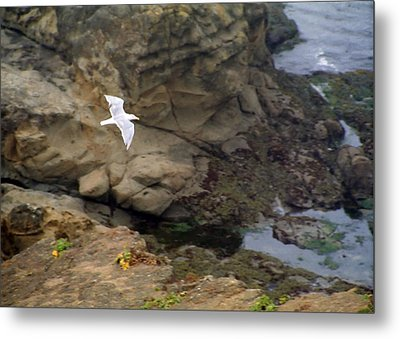 Seagull In Flight Metal Print by Steve Ohlsen