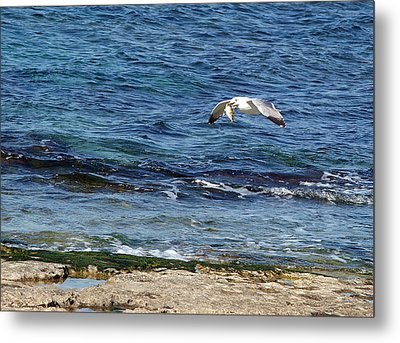 Seagull Meal Time 2 Metal Print