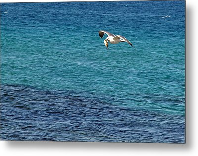 Seagull  Meal  Time Metal Print