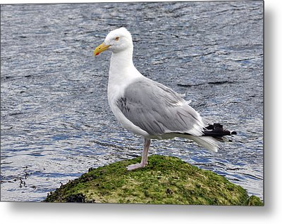 Metal Print featuring the photograph Seagull Posing by Glenn Gordon