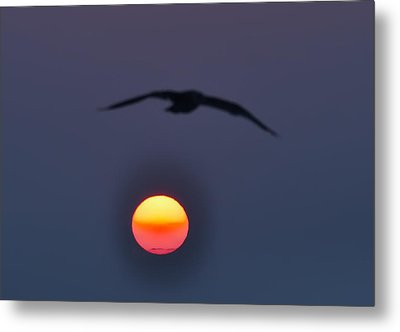 Seagull Sun Metal Print by Bill Cannon