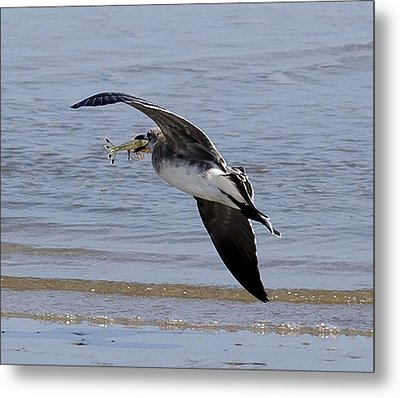 Seagull With Shrimp Metal Print