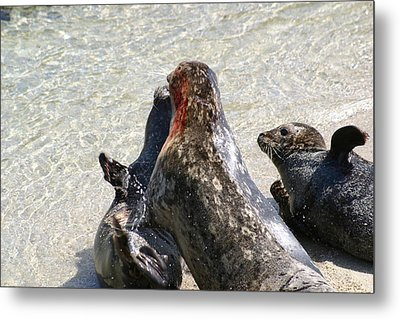 Seal Fight Metal Print by Anthony Jones