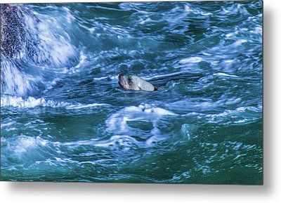 Metal Print featuring the photograph Seal In Teh Water by Jonny D
