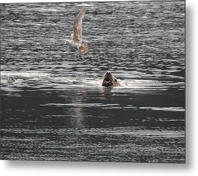 Sealion Vs Seagull Metal Print