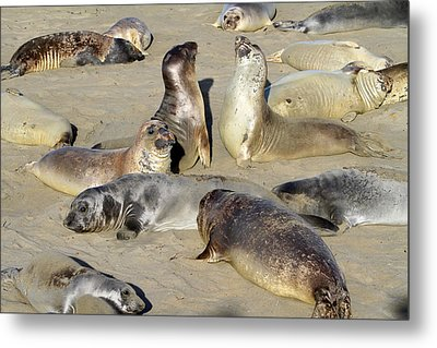 Seals On The Beach Metal Print