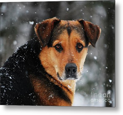 Metal Print featuring the photograph Search And Rescue Dog by Lila Fisher-Wenzel