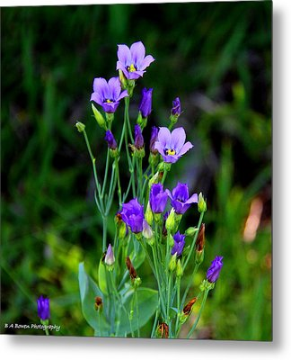 Metal Print featuring the photograph Seaside Gentian Wildflower  by Barbara Bowen