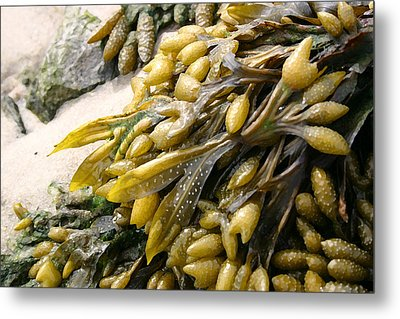 Seaweed Metal Print by Mary Haber