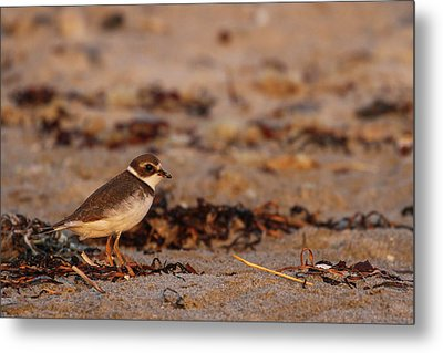 Metal Print featuring the photograph Semipalmated Plover by Juergen Roth