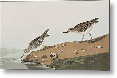 Semipalmated Sandpiper Metal Print by John James Audubon