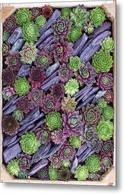 Sempervivums Pattern Metal Print by Tim Gainey