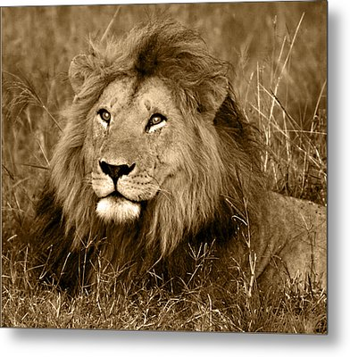 Sepia Lion Metal Print by Nancy D Hall